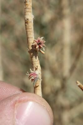 עציון פרסי Haloxylon persicum Bunge