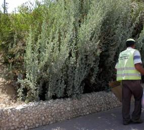 שיחים מעוצים בגובה 3-1 מ'. סעיפי הענפים זקופים, מקבילים פחות או יותר.