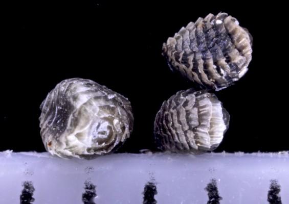 בר-דורבן פעוט Consolida pusilla (Labill.) Schroedinger