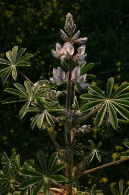 תורמוס ארץ-ישראלי Lupinus palaestinus Boiss.