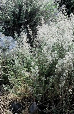 אזוב מצוי Origanum syriacum L.