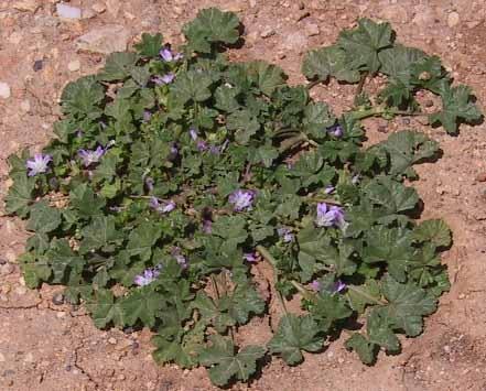 חלמית מצויה Malva nicaeensis All.