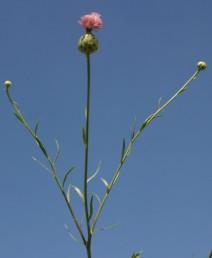 עשבים רב-שנתיים. הקרקפות בעלות פרחים דו-מיניים וחד-מיניים. צבע הכותרת ורוד-ארגמן.