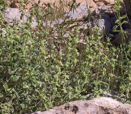 מרמר הלבנון Marrubium libanoticum Boiss.