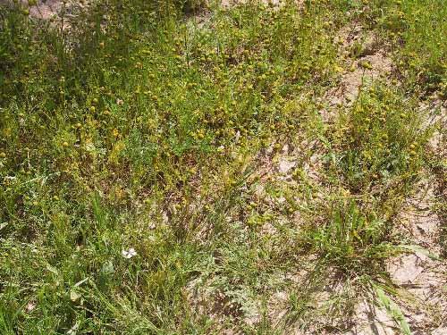 בבונג זהוב Matricaria aurea (Loefl.) Sch.Bip.