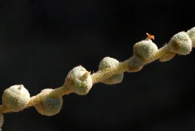 הצמח מכוסה בשערות שלפוחיתיות. החפים והחפיות יוצרים כדורים הדוקים, כל אחד עם פרח יחיד.