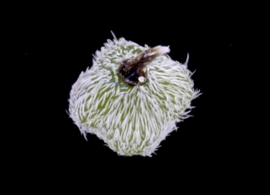 Heliotropium ovalifolium Forssk.