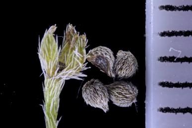 הפרי בעל ארבע פרודות מכוסות מבחוץ בזיפים הדוקים.