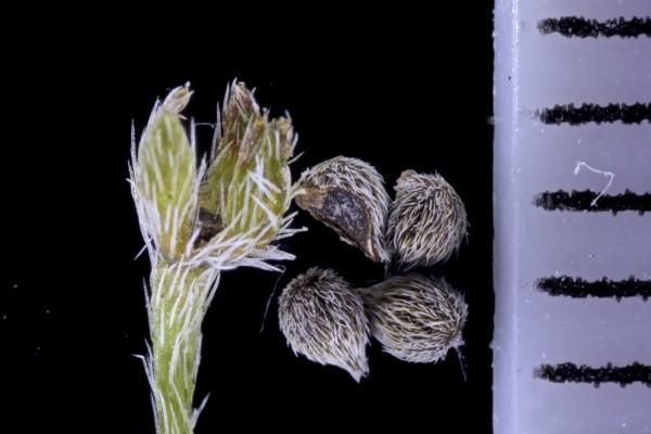 עוקץ-עקרב ביצני Heliotropium ovalifolium Forssk.