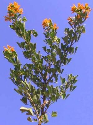 אספסת השיח Medicago arborea L.