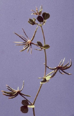 Medicago astroites (Fisch. & C.A.Mey.) Trautv.