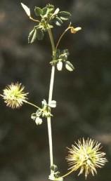 צמחי מדבר שעירים אך לא צמירים. הפרי כדורי (לעתים גלילי).