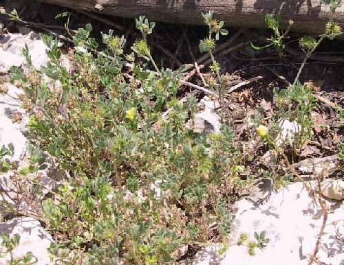 אספסת קטנה Medicago minima (L.) Bartal.