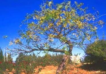 עצים המשירים עליהם בחורף. על פי רוב נשארים הפירות הצהובים על ענפי העץ העירומים.