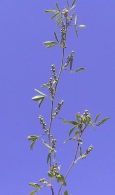 דבשה מחורצת Melilotus sulcatus Desf.