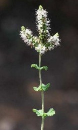 העלים עגולים או דמויי ביצה, אורכם גדול לכל היותר פי 1.5 מרוחבם.