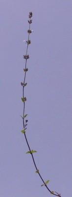 זוטת סיני Micromeria sinaica Benth.