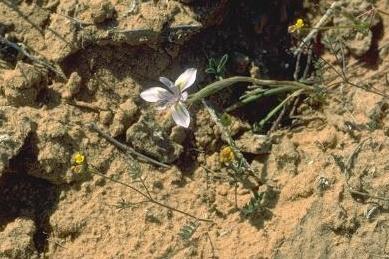 צהרון קטן Moraea mediterranea Goldblatt