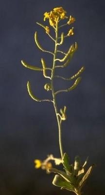 Nasturtiopsis coronopifolia (Desf.) Boiss.