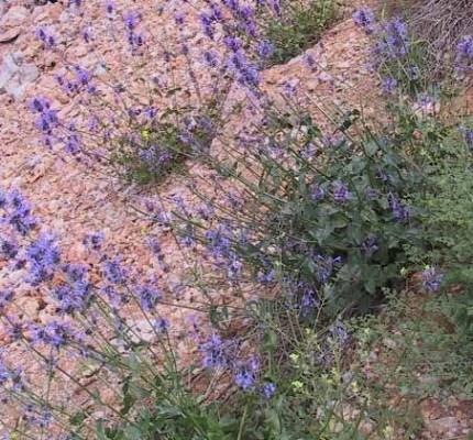 Nepeta cilicia Boiss. ex Benth.