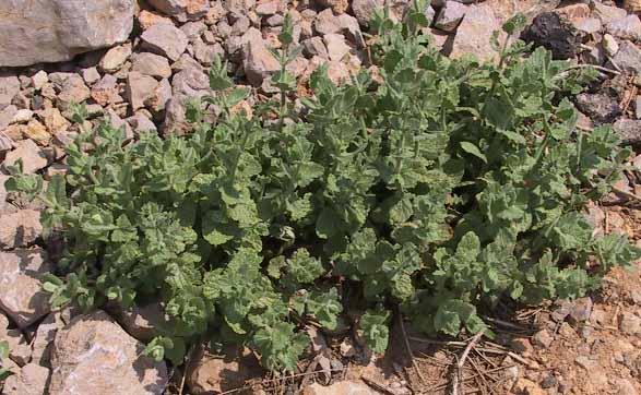 נפית מגובבת Nepeta glomerata Benth.