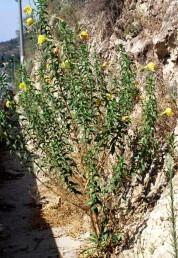 צמחים זקופים הגדלים בקרקעות שונות, בעיקר לא חוליות אך מופרעות.