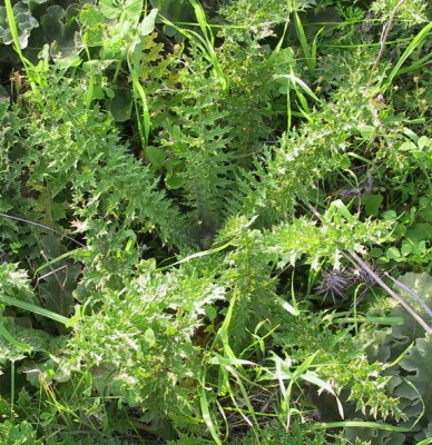 חוחן קרדני Onopordum carduiforme Boiss.