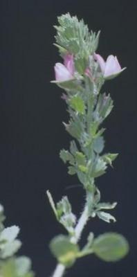 שברק שעיר Ononis hirta Desf. ex Poir.