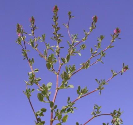 שברק משונן Ononis serrata Forssk.