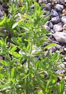 שברק קצר-פרח Ononis viscosa L.