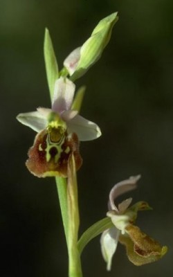 Ophrys holosericea (Burm.f.) Greuter