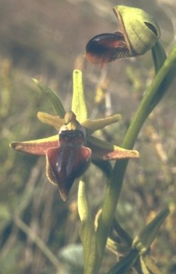 דבורנית הקטיפה Ophrys sphegodes Mill.