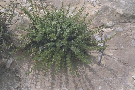 אזובית המדבר Origanum dayi Post