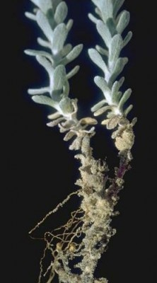 לבנונית ימית Otanthus maritimus (L.) Hoffmanns. & Link