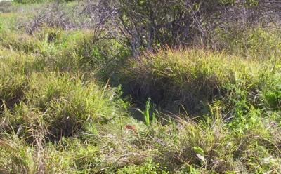 עשב רב-שנתי מסתעף מבסיסו וגם בחלקיו העליונים, פעיל בעיקר בקיץ אבל נושא עלים ירוקים כל השנה. במישור החוף בבתי-גידול מופרעים.