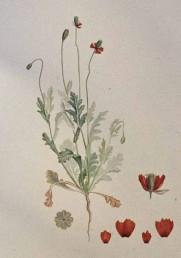 צמח בר נדיר מאוד, נמצא בדרום הנגב ובערבה. ההלקט כאורך עלי הכותרת שצבעם אדום חיוור.