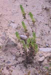 Parietaria alsinifolia Delile
