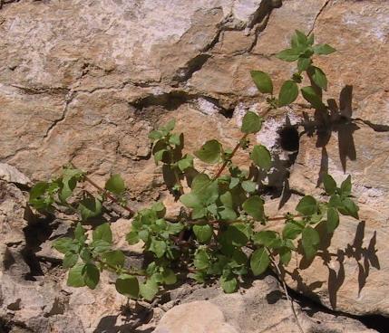 כתלית פורטוגלית Parietaria lusitanica L.
