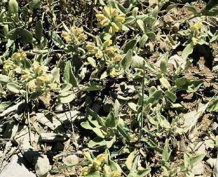 שלהבית הררית Phlomis brevilabris Boiss.