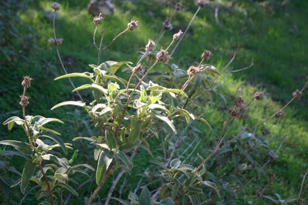 שלהבית דביקה Phlomis viscosa Poir.
