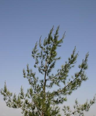 אורן קפריסאי Pinus brutia Ten.