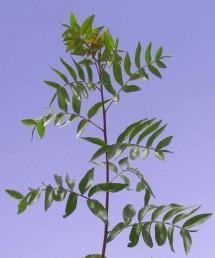ציר העלה גלילי (אינו מכונף); מספר העלעלים אינו זוגי וראשם מחודד; העלעל העליון קטן משאר העלעלים.