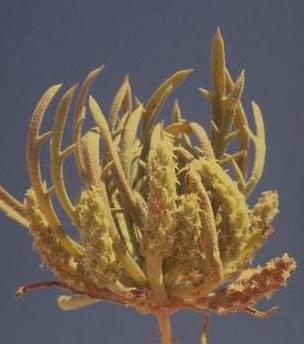 לחך שסוע Plantago crypsoides Boiss.