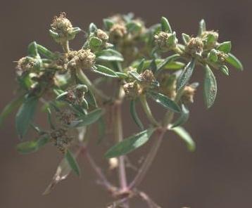 Plantago sarcophylla Zohary