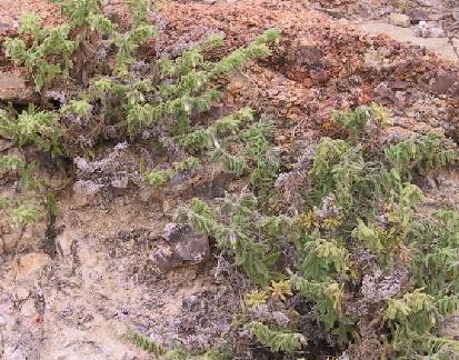 מציץ סורי Podonosma orientalis (L.) Feinbrun