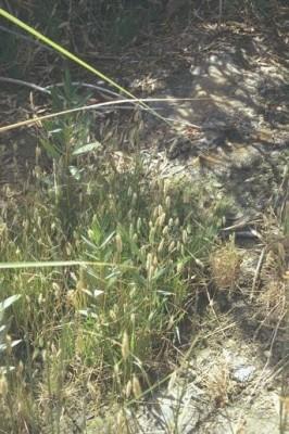 עבדקן מצוי Polypogon monspeliensis (L.) Desf.