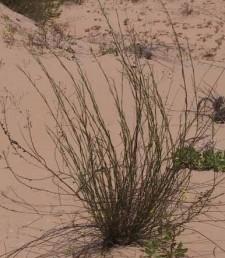צמחים זקופים  גדלים בחולות נודדים של מישור החוף.