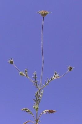 נוציץ עטוף Pterocephalus brevis Coult.
