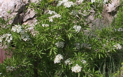 אגס סורי Pyrus syriaca Boiss.