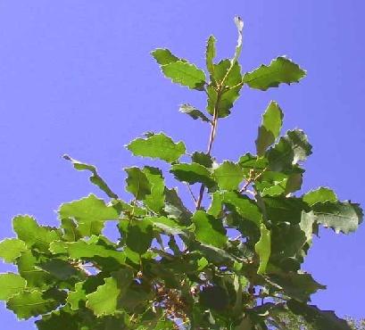 אלון התולע Quercus boissieri Reut.